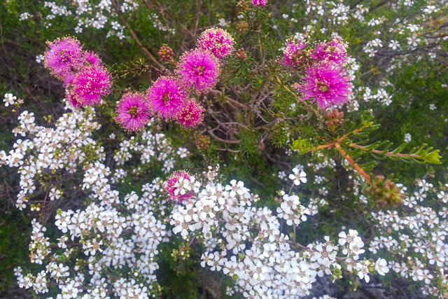 Bright Pink Maleleuca and tiny white widlflowers growing beside each other