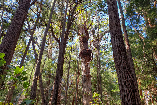 Some of the giant Tingle trees in Walpole-Nornalup National Park